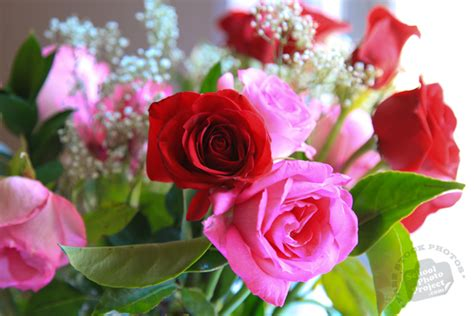 pink roses for valentines day fresh roses free stock photo image picture s