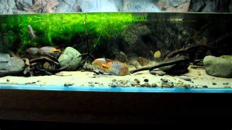 central american cichlids in the display aquarium
