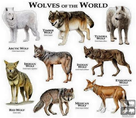 the domestication how wolves and humans coevolved books 25 best ideas about gray wolf on wolf howl