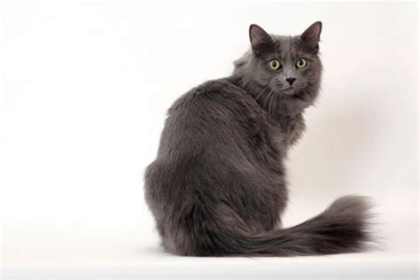 Nebelung Cat: Looks, Personality, and How to Care for Your