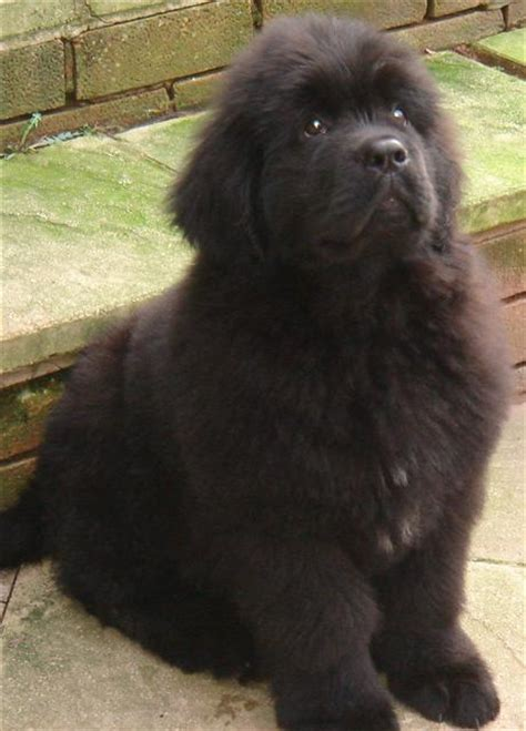 newfie puppies newfoundland puppies welcome
