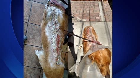 scgrr golden retriever rescue stray golden retriever suffers third degree chemical burns after intentional attack