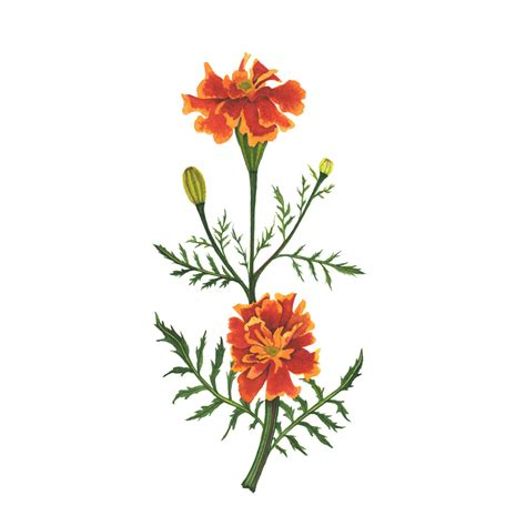 marigold paint orange marigolds watercolor painting my giant strawberry