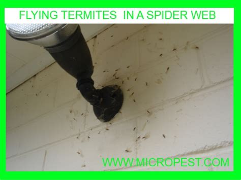 winged termites in bathroom winged termites in bathroom 28 images tiny black