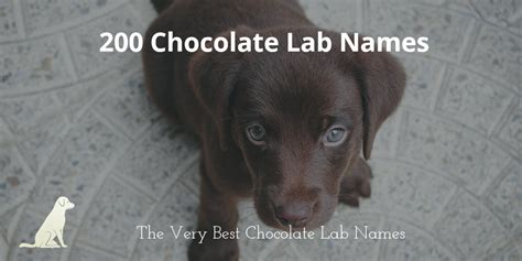 labrador names 200 of the best chocolate lab names