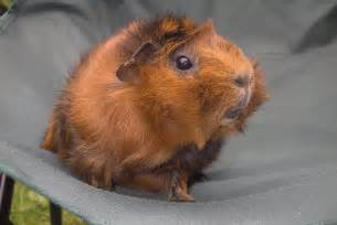 guinea pigs guinea pigs photo 23547338 fanpop