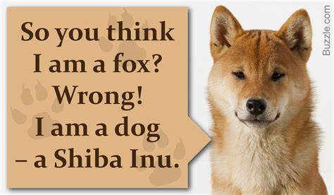 breeds that look like foxes 12 breeds that look like foxes and are devilishly handsome