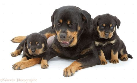 facts about rottweiler puppies rottweiler puppies with about animals