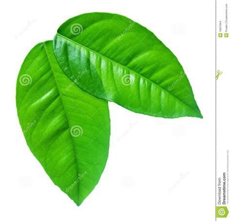 imagenes de hojas verdes hojas verdes en un fondo blanco imagenes de archivo