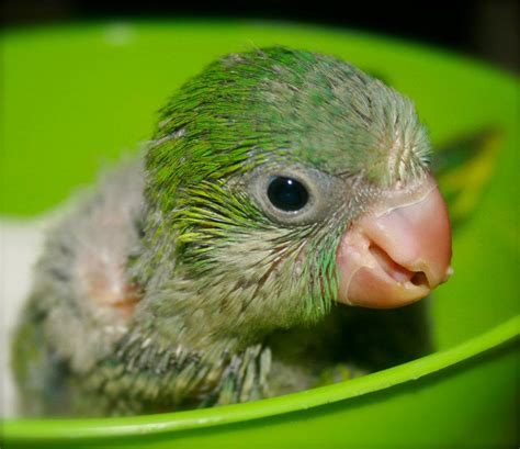 quaker parrot monk parakeet facts diet lifespan pet