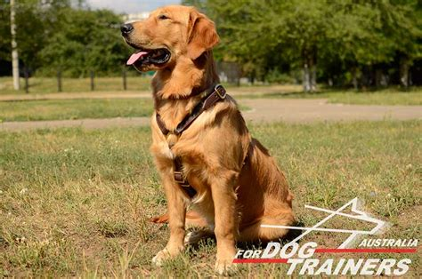 best harness for golden retriever buy light weight adjustable harness for tracking australia