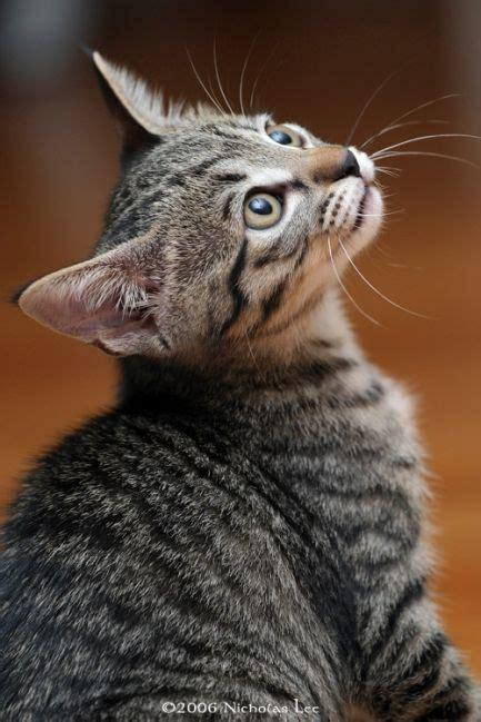 swing a dead cat origin 17 best ideas about grey tabby cats on pinterest cute