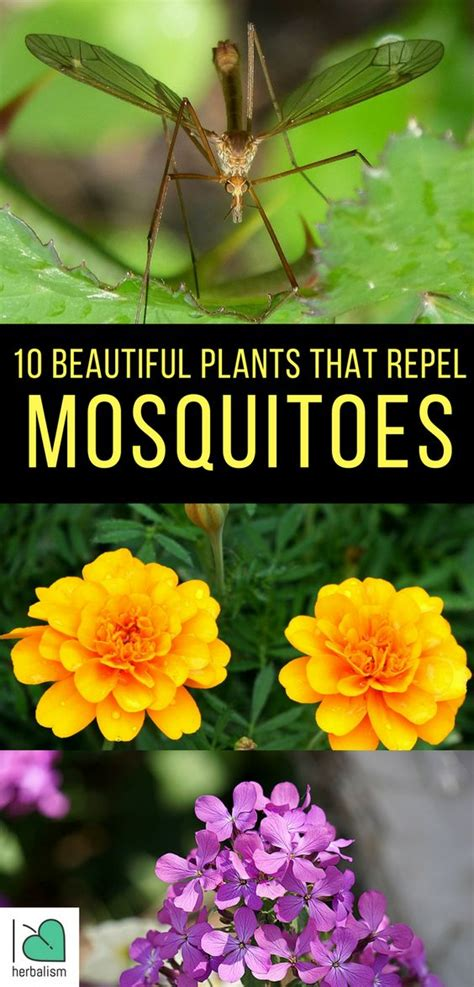 Flowers That Keep Mosquitoes Away by 10 Beautiful Plants That Repel Mosquitoes Beautiful