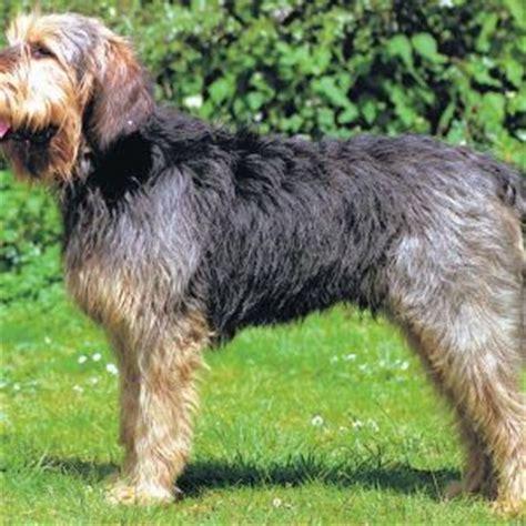 otterhound puppies for sale otterhound puppy otterhound breed information