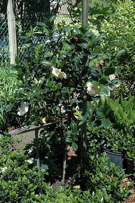 gardenia tree form gardenia jasminoides tree form