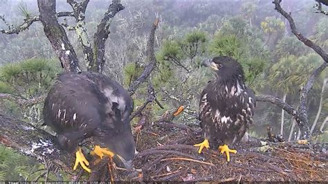 aef nefl eagle nest cam 2 15 18 morning fun with a branch