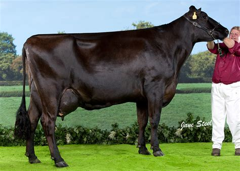 brown breeds the brown swiss breed