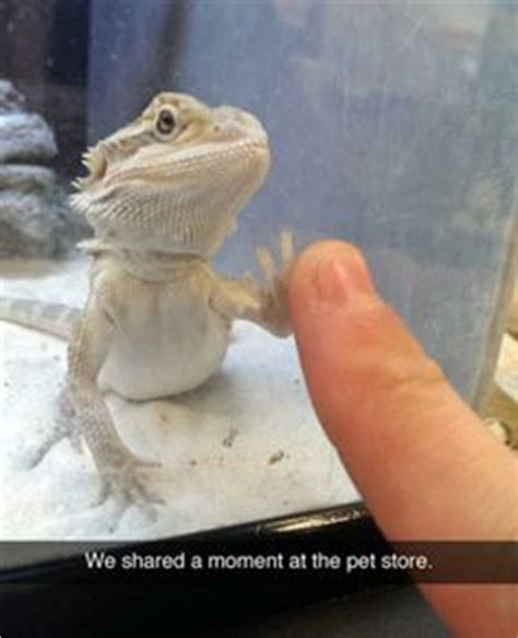 Horny Toad Meme - 1000 images about animal on pinterest bearded dragon