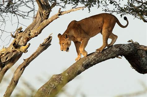 in tree the tree climbing lions of the serengeti africa geographic