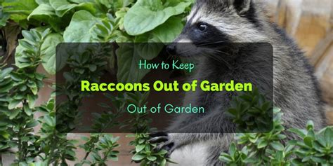 How To Keep Raccoons Out Of Your Garden by How To Keep Raccoons Out Of Garden 6 Ways