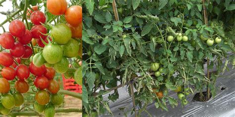 Jual Polybag Grosir bibit tanaman tomat buah daftar harga terkini dan