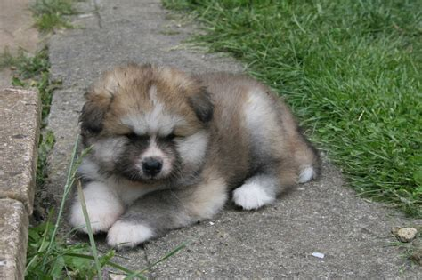 akita inu puppies for sale coated japanese akita inu puppies for sale bristol bristol pets4homes
