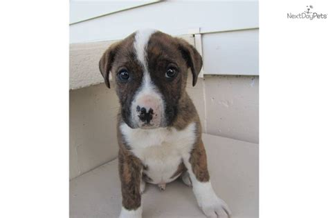 boxer mix puppies for sale near me boxer puppy for adoption near 1f41e382 2712