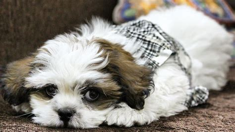 Do Lhasa Apso Shed how bad do lhasa apsos shed advice from real lhasa apso owners