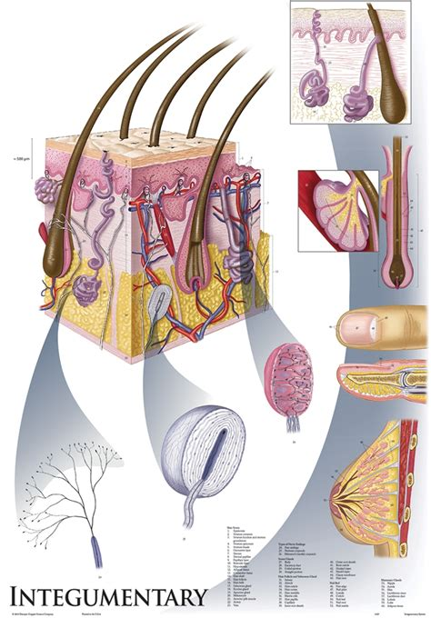 oversize integumentary system wall chart