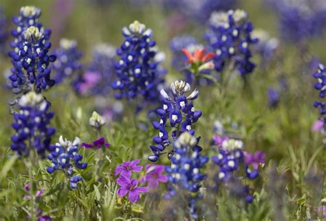 austin com 7 crazy things you never knew about texas bluebonnets