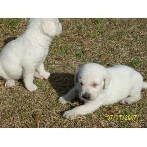 chocolate lab puppies for sale in sc chocolate lab puppies for sale labrador retriever breeder breeds picture