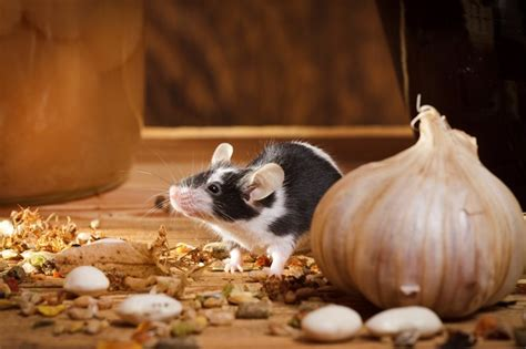 Mouse In Pantry by Fascinating Mouse Facts You Did Not Mice Facts