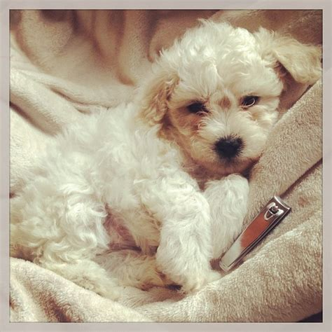 lifespan for a poodle 8 doggie breeds that live the