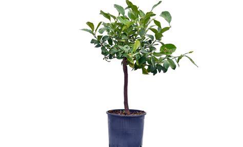 pianta limone in vaso pianta di limone sfusato amalfitano in vaso 20 22 cm