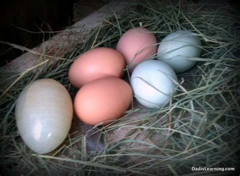 Favorite Things Friday Backyard Chickens Dad Is Learning Backyard Chicken Eggs