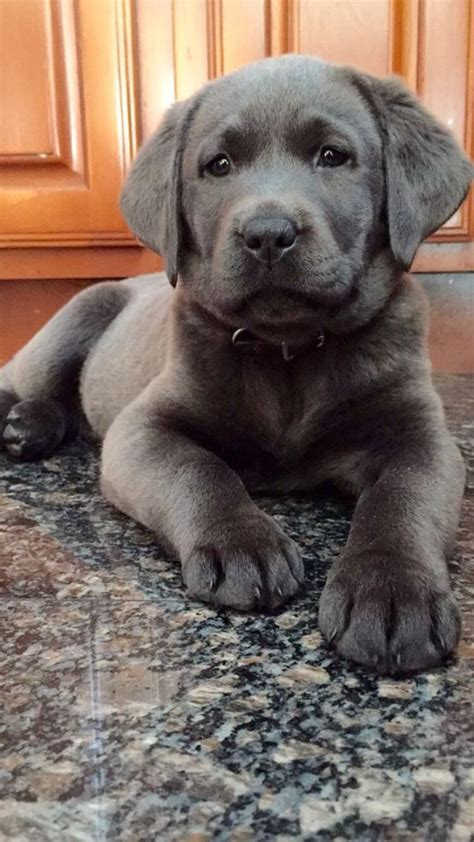 chagne lab puppies 25 best ideas about labrador retriever on labs labrador puppies and