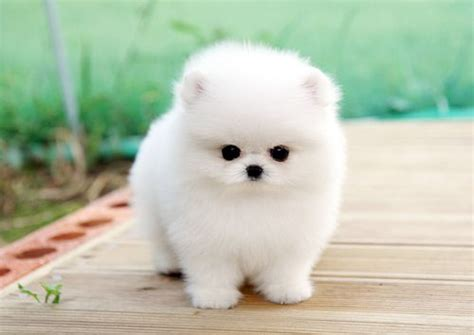 white micro pomeranian 17 best images about adorable teacup puppies on