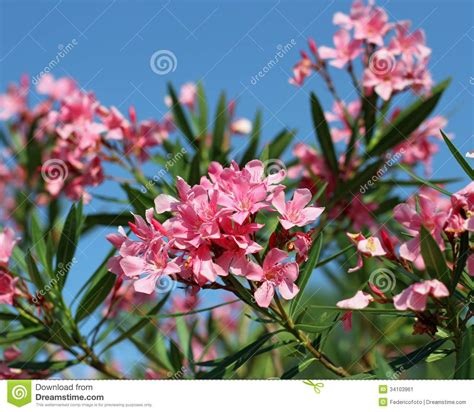 oleander flower flora typical of the mediterranean in southern e stock image image 34103961