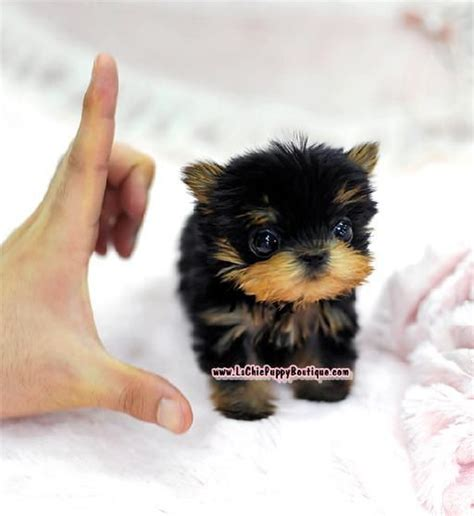 free yorkie puppies in az the world s catalog of ideas
