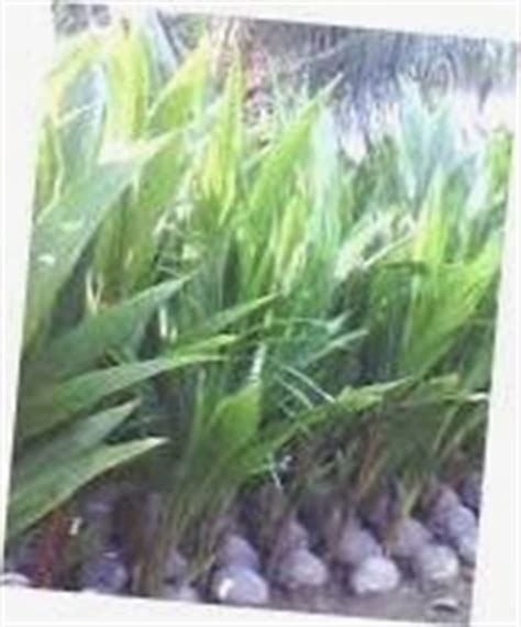 Bibit Kelapa Hibrida kelapa hibrida persilangan antara kelapa genjah dan kelapa