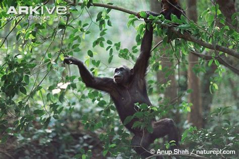 monkey swing chimpanzee photo pan troglodytes g109034 arkive