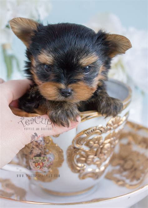 teacup yorkie boutique teacup yorkie puppies for sale at teacups puppies boutique together breeds picture