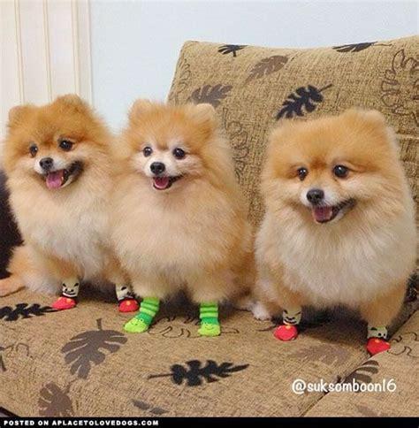 fluffy pomeranians fluffy pomeranians in socks pomeranians