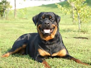 rottweiler hd pics rottweiler wallpaper hd 7 dogs wallpaper