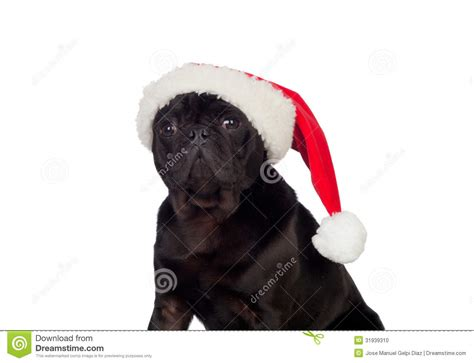 pug with hat pug with hat stock photo image 31939310