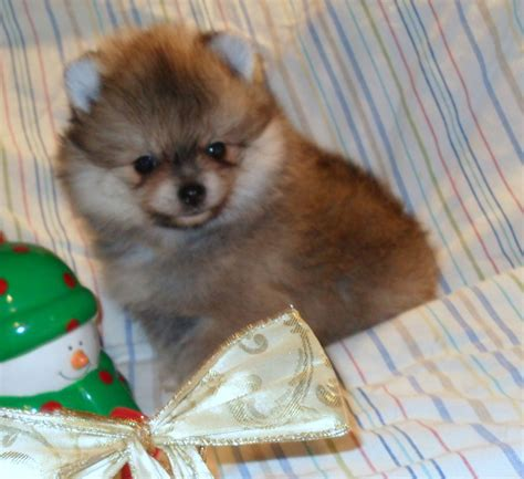 pomeranian breeder california pomeranian breeders california breeds picture