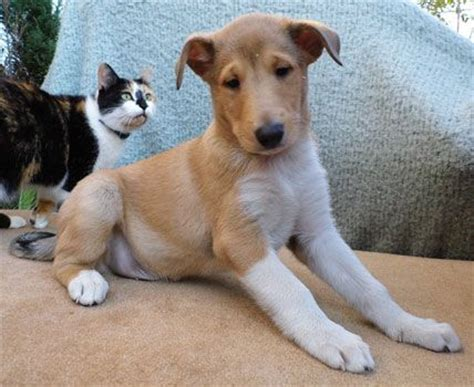 smooth collie puppies 17 best ideas about collie puppies for sale on collies for sale border
