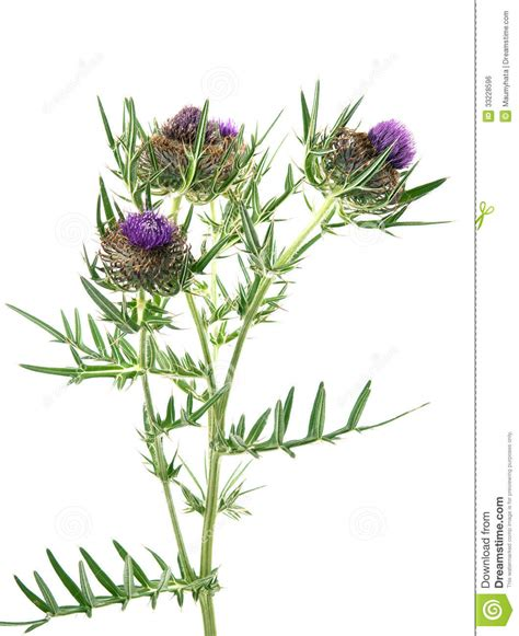 thistle stock photo image of macro blossom up