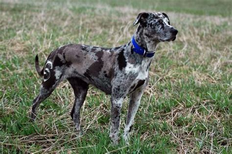 Patchwork Catahoula - louisiana catahoula leopard pets amino