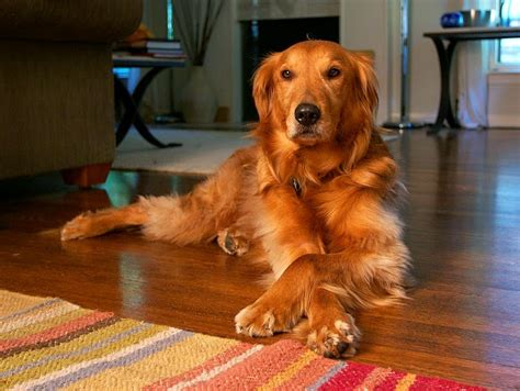 how much golden retriever in philippines 10 most popular breeds in the philippines